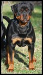 Elevage familial de rottweilers !!!