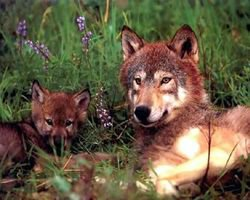 Save Endangered Red Wolves... - The Petition Site
