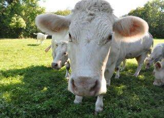 22-08-2014 - Saulieu - un troupeau mort et une amende dans l'affaire des 47 vaches mortes : pourvoi en cassation