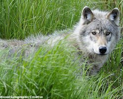 Demand an Immediate Status Review of Wolves in the Northern Rockies! - The Petition Site