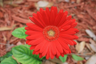 Best flowers in the world daisy flower christmas gifts christmas